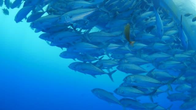 School of trevally jack fish under ship at sea