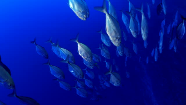 skolan av trevally jack fisk - dykarperspektiv bildbanksvideor och videomaterial från bakom kulisserna