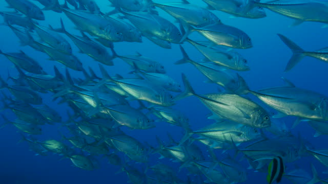 school of trevally jack fish - jack fish stock videos and b-roll footage
