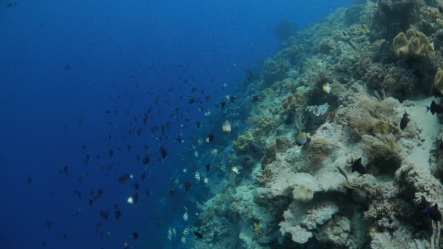 school of triggerfish and butterflyfish in coral reef - butterflyfish stock videos & royalty-free footage