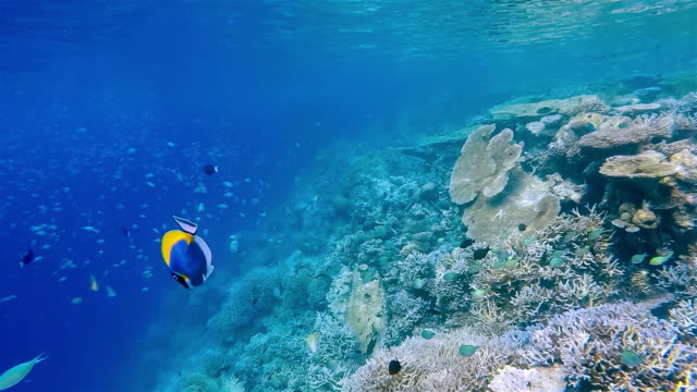 school of tropical fishes on coral reef - maldives - ari atoll stock videos & royalty-free footage