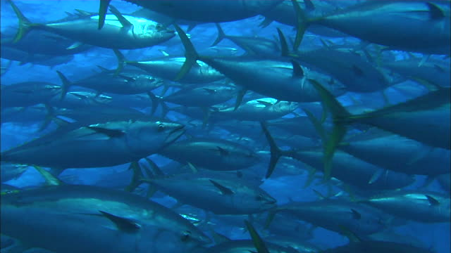 vidéos et rushes de school of tuna swimming near port lincoln, south australia - film documentaire image animée