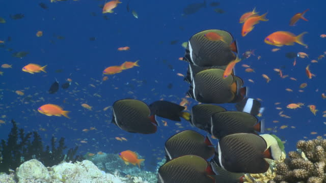 School of White Collar Butterflyfish (Hemitaurichthys zoster) on Coral reef, surrounded by Scalefin Anthias (Pseudanthias squamipinnis), profile, CU, Vaavu Atoll, The Maldives