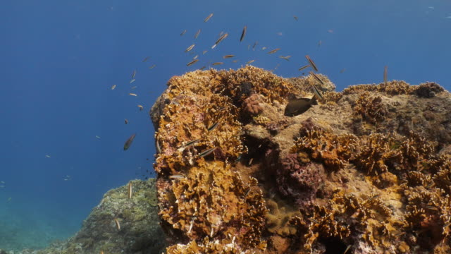 school of wrasse fish at undersea pinnacle, taiwan - philippine sea stock videos & royalty-free footage