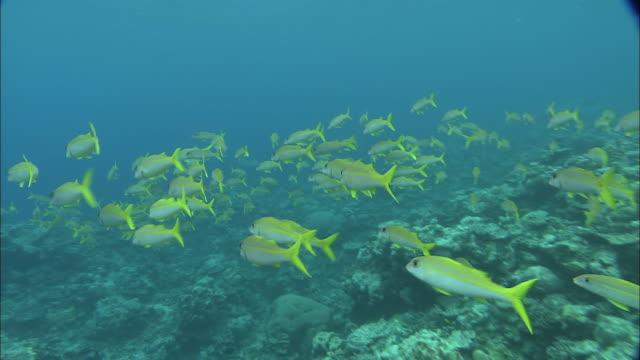 a school of yellow fin goatfish swims through the palau reef. - goatfish stock videos & royalty-free footage
