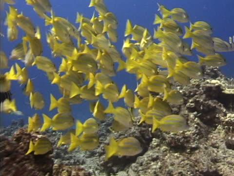 a school of yellow fish - tierisches exoskelett stock-videos und b-roll-filmmaterial