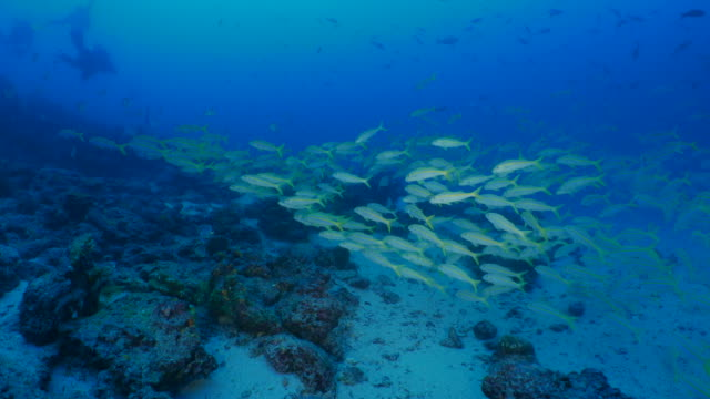 School of Yellow goatfish and butterflyfish swimming in coral reef