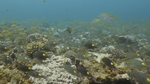 school of yellow goatfish and goldspot seabream fish swimming undersea in japan - triglia tropicale video stock e b–roll