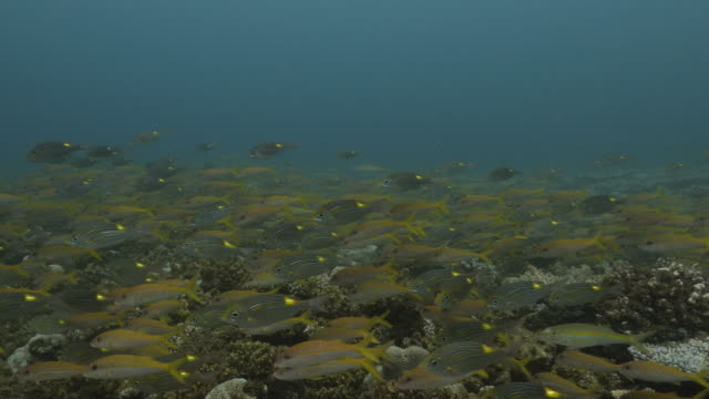 school of yellow goatfish and goldspot seabream fish undersea in japan - triglia tropicale video stock e b–roll