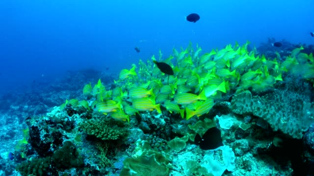 School of yellow snapper fish in colorful reef, Maldives