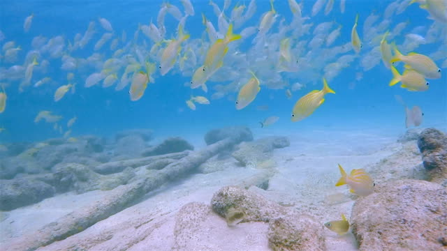 School of yellow snapper fish in on Caribbean Sea - Belize Barrier Reef / Ambergris Caye