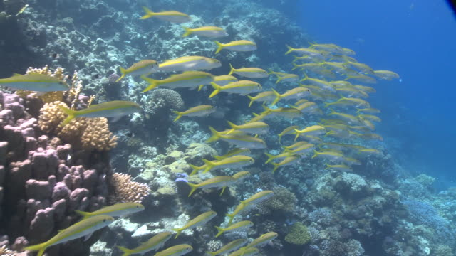 school of yellowfin goatfish (mulloides vanicolensis) close  - triglia tropicale video stock e b–roll