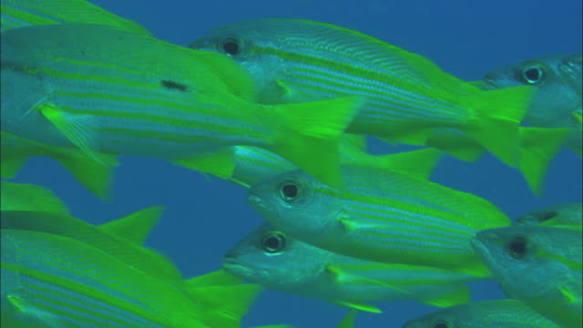 CU School of Yellowfin goatfish (Mulloidichthys vanicolensis) swimming in Great Barrier Reef / Queensland, Australia