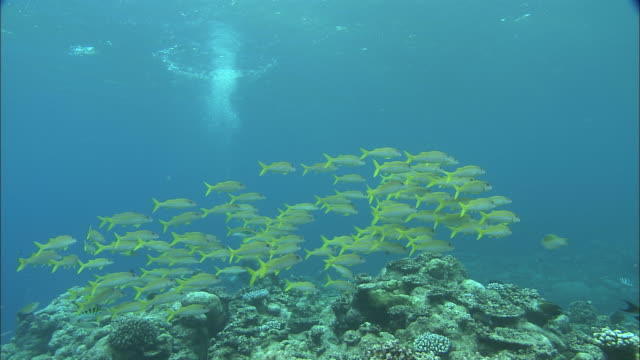 a school of yellowfin goatfish swims above palau reef. - triglia tropicale video stock e b–roll