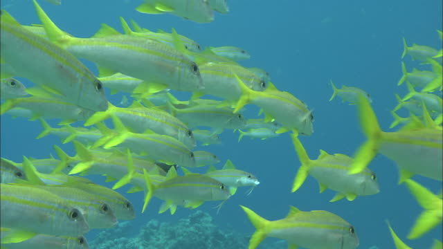 a school of yellowfin goatfish swims above palau reef. - goatfish stock videos & royalty-free footage