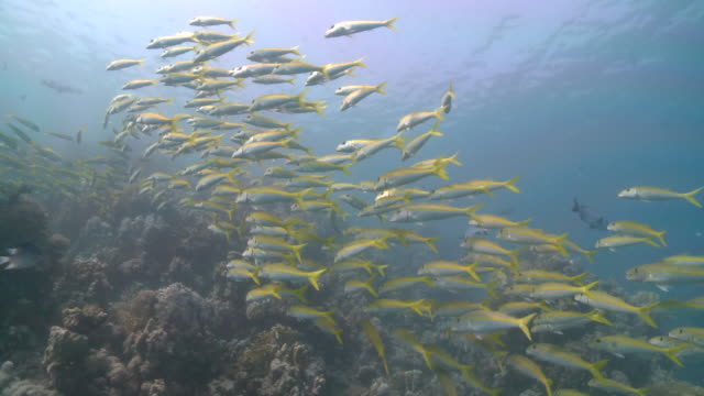 School of Yellowfin goatfish (Mulloides vanicolensis)