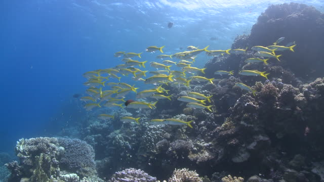 school of yellowfin goatfish (mulloides vanicolensis) wide - triglia tropicale video stock e b–roll