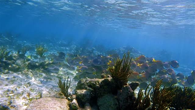 school of yellowfin surgeonfish or cuvier's surgeonfish ( acanthurus xanthopterus ) in caribbean sea - akumal bay - riviera maya / cozumel , quintana roo , mexico - school of fish stock videos & royalty-free footage