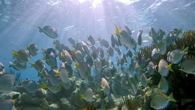 school of yellowfin surgeonfish or cuvier's surgeonfish ( acanthurus xanthopterus ) in caribbean sea - akumal bay - riviera maya / cozumel , quintana roo , mexico - mayan riviera stock videos and b-roll footage