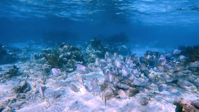 school of yellowfin surgeonfish or cuvier's surgeonfish ( acanthurus xanthopterus ) in caribbean sea - akumal bay - riviera maya / cozumel , quintana roo , mexico - akumal stock videos and b-roll footage