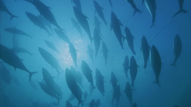 slo mo ms la school of yellowfin tuna (thunnus albacares) swimming in ocean/ moorea, tahiti, french polynesia - tahiti video stock e b–roll
