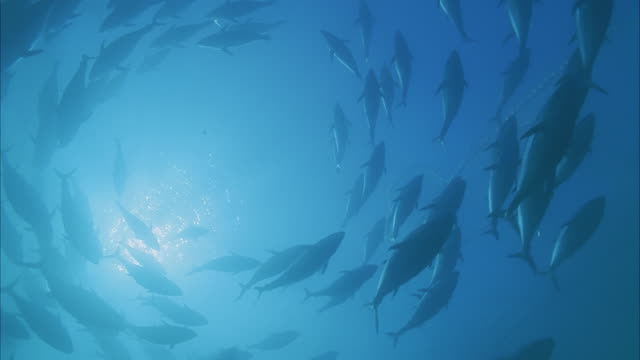 vídeos de stock e filmes b-roll de slo mo ms la school of yellowfin tuna (thunnus albacares) swimming in ocean/ moorea, tahiti, french polynesia - cardume de peixes