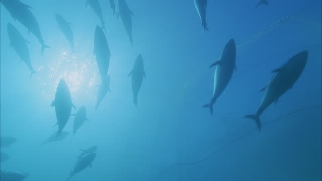 slo mo ms la school of yellowfin tuna (thunnus albacares) swimming in ocean/ moorea, tahiti, french polynesia - insel tahiti stock-videos und b-roll-filmmaterial