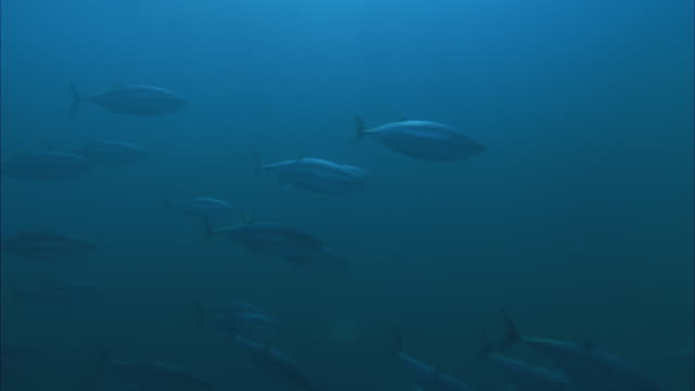vídeos y material grabado en eventos de stock de slo mo ms school of yellowfin tuna (thunnus albacares) swimming in ocean/ moorea, tahiti, french polynesia - tahití