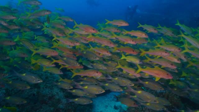 school of yellowspot emperor, goatfish, snapper fish swimming at sea reef - goatfish stock videos & royalty-free footage