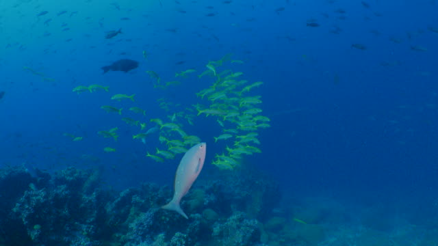 school of yellow-striped goat fish at undersea reef in darwin island, galapagos - triglia tropicale video stock e b–roll