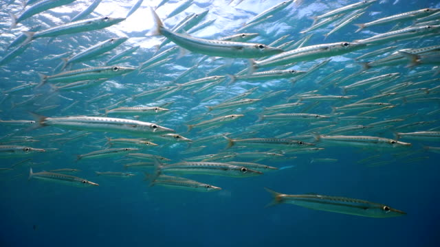 school of yellowtail barracuda (sphyraena flavicauda) on coral reef lagoon ecosystem ocean environment, koh haa islands, andaman sea, krabi, thailand. - barracuda stock videos & royalty-free footage