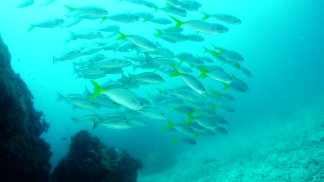 School of Yellowtail Fusilier swimming near reef in slow motion