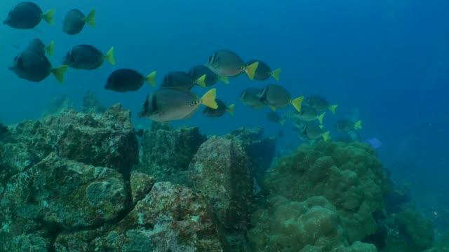 vidéos et rushes de école de limande à queue jaune sohal, baignade au récif sous-marin - îles galapagos