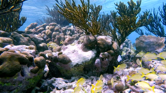 School of young yellow snapper fish in on Caribbean Sea - Akumal Bay - Riviera Maya / Cozumel , Quintana Roo , Mexico