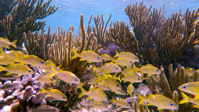 school of young yellow snapper fish in on caribbean sea - akumal bay - riviera maya / cozumel , quintana roo , mexico - reef stock videos and b-roll footage