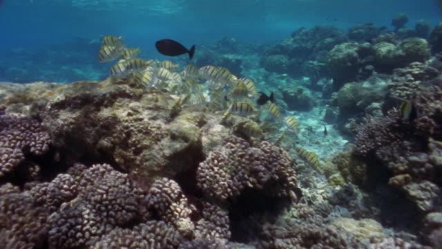 ms, school of zebra fishes and black tangs swimming in ocean - gruppo medio di animali video stock e b–roll