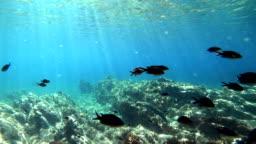 School off fish in Mediterranean Sea, Chromis