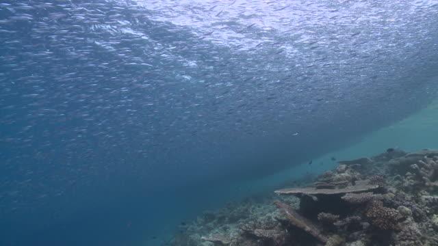 ms pov schooling baitfish over reef / hanifaru, baa atoll, maldives    - indian ocean stock videos & royalty-free footage