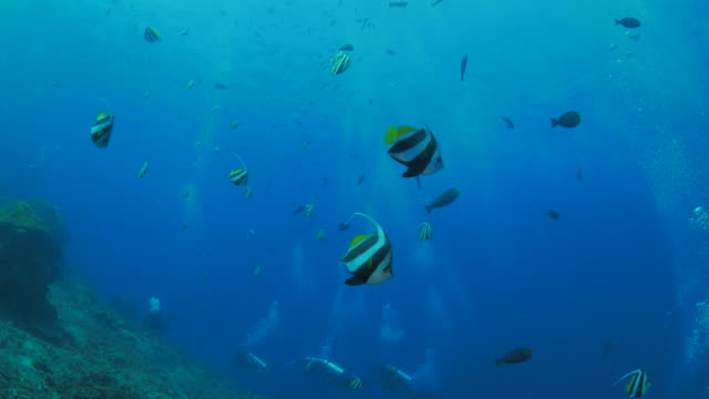 schooling bannerfish, false moorish idol, swimming undersea - butterflyfish stock videos & royalty-free footage