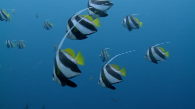 schooling bannerfish in blue water 2 - full hd - undersea stock videos & royalty-free footage