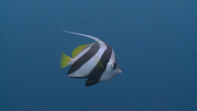 Schooling Bannerfish in blue water CLOSEUP - Full HD