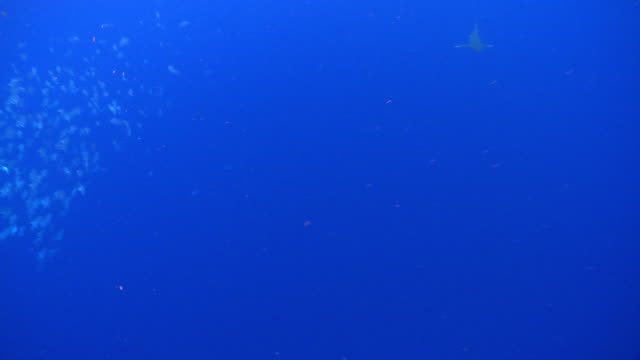 ms schooling fish in blue water and oceanic whitetip shark / hawaii, united states - oceanic white tip shark stock videos & royalty-free footage