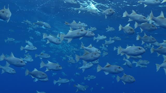 vidéos et rushes de ms schooling fish in blue water / hawaii, united states - organisme aquatique