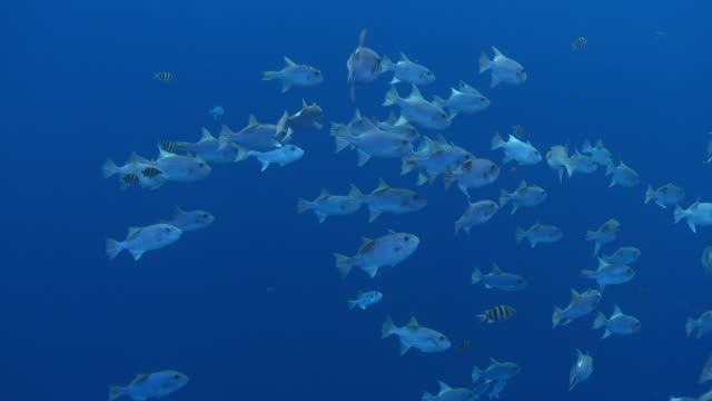 ms schooling fish in blue water / hawaii, united states - aquatic organism stock videos & royalty-free footage