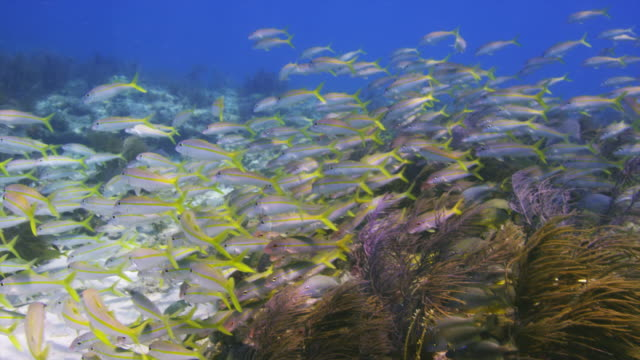 schooling goatfish on the reef. key largo, florida keys. - triglia tropicale video stock e b–roll
