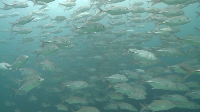 schooling jacks, southern visayas, philippines - jack fish stock videos and b-roll footage