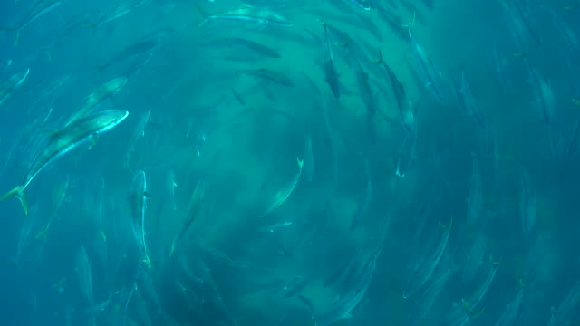 schooling kingfish from above - wildlife stock videos & royalty-free footage
