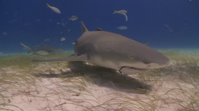 vídeos de stock, filmes e b-roll de schooling sharks on sea floor, one with hook in mouth - roldana