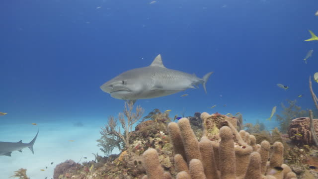 schooling sharks, tiger shark, caribbean reef and lemon shark - 40 o più secondi video stock e b–roll