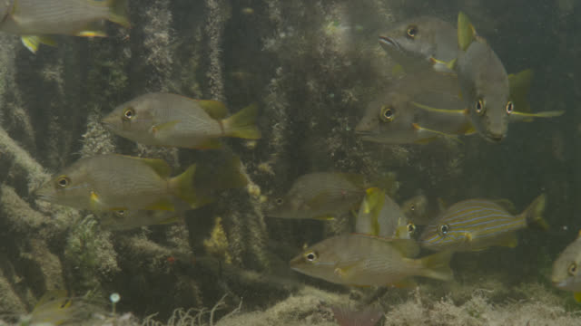 schoolmaster snappers swim in mangrove swamp, belize - 数匹の動物点の映像素材/bロール